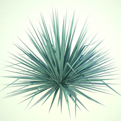 "Small Blue Yucca...approx 30""/70cm high."