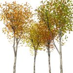 A selection of small autumn trees.<Br><Br...
