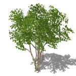 View Larger Image of Crape Myrtle