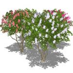Medium height Crape myrtle (Lagerstroemia indica)....