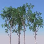 Four large Eucalyptus trees