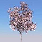 4 variations of cherry trees
