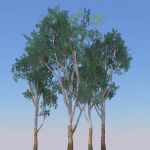 Eucalyptus leucoxylon, variously known as Blue Gum...