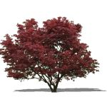 Young Japanese Maple...approx 12' / 4m high. Sketc...