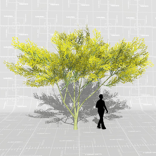 The parkinsonia is a ntive tree 