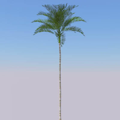 Full size Areca Palm trees