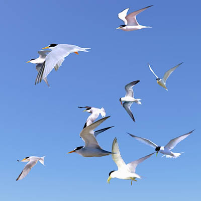 Flock of Least Terns (Sternula antillarum) Billboa....