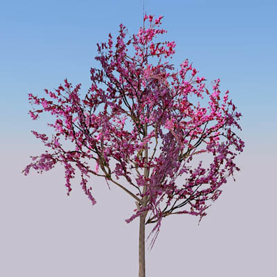 Two specimens of Eastern Redbud (Cercis canadensis....