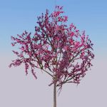 Two specimens of Eastern Redbud (Cercis canadensis...