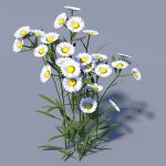 Aster / Michaelmas daisy. Will pass 