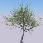 Four specimens of olive tree, 