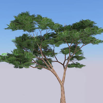 A selection of acacia trees.