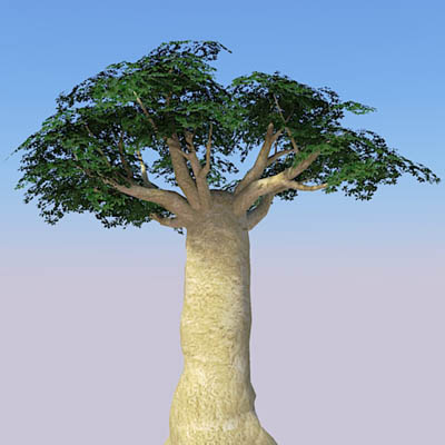 Four baobab trees, ranging approx. from 40' to 80'....