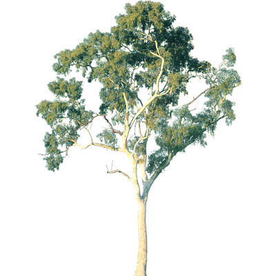Ghost gum approx 40' / 12m high. SketchUp V5 is ph....