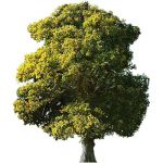 Mature English Oak tree (Quercus robur). approx 40...