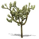 View Larger Image of jumpcholla01tn.jpg