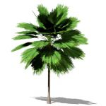 Small NPR Mexican Fan Palm (Washingtonia robusta);...
