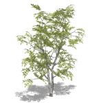 Silver Birch (Betula pendula) with bifurcated trun...