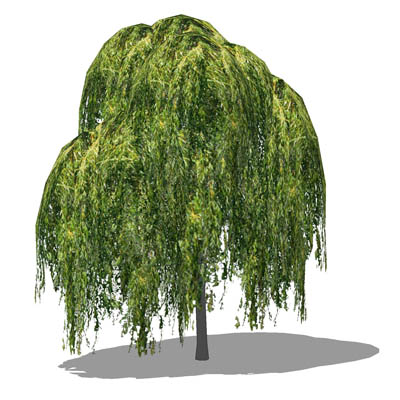 Medium poly Weeping Willow (Salix babylonica); app....