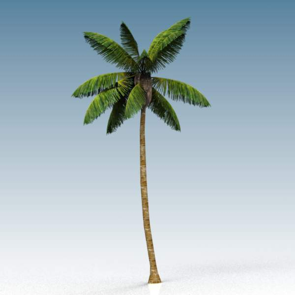 A 35 ft (11 m) coconut palm.