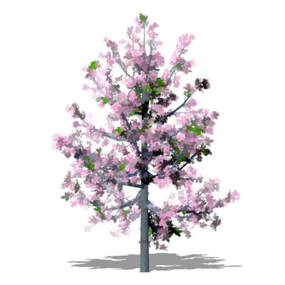 Series of young ornamental cherry trees in Blossom....