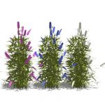 Buddleia davidii or Butterfly Bush, in pink, blue ...