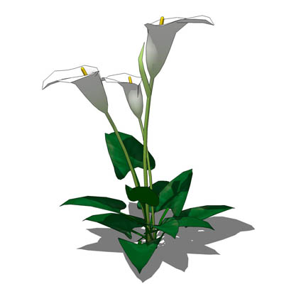 Arum or Calla Lily (Zantedeschia aethiopica) in th....