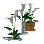 Arum or Calla Lily (Zantedeschia aethiopica) in th...