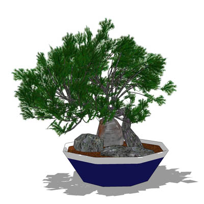 Dwarf Juniper in both bonsai and normal sized vers....