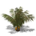 Small Date Palm
