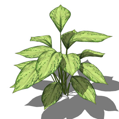 "Aglaonema pictum; approx 22""/56cm high; 3 con...."