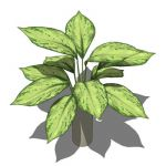 View Larger Image of Aglaonema pictum