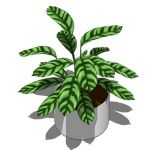 View Larger Image of FF_Model_ID5284_Calathea_zebrina04.jpg