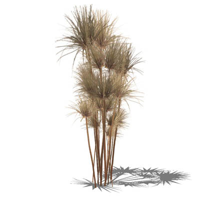 Low poly Papyrus (Cyperus papyrus) in 4 variants..