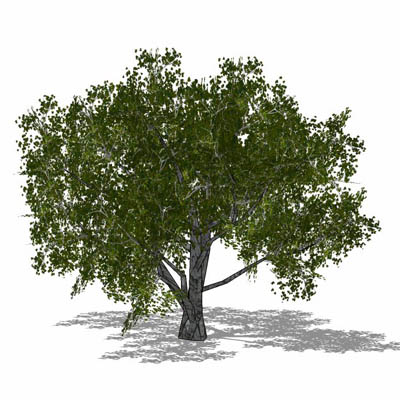 Generic deciduous tree in 4 configurations, includ....
