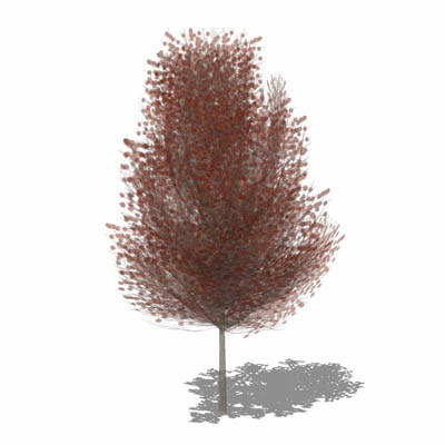 Small generic tree of copper beech type variety. I....