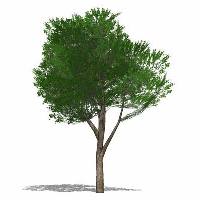 Generic Elm-type tree. High branch clearance, suit....