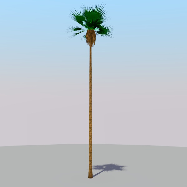 50' / 18m fan palm.