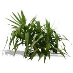 2D Plant, yucca or cordyline