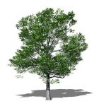 View Larger Image of American Beech