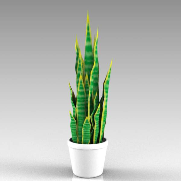 Sansevieria in pot.