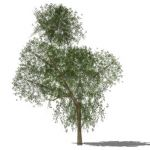 View Larger Image of Generic tree 13